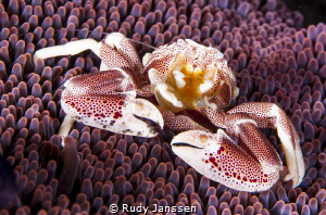 porcelain Crab by Rudy Janssen