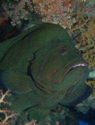 Redmouth grouper taken at Sharks Observatory, Ras Mohamed... by Nikki Van Veelen