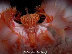 Hermodice carunculata Queen Fire Worm by Cumhur Gedikoglu