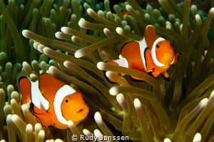 Duo Clown fish by Rudy Janssen