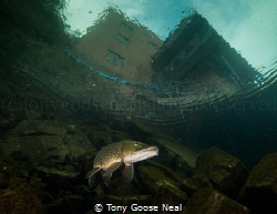 Pike on the hunt. by Tony Goose Neal