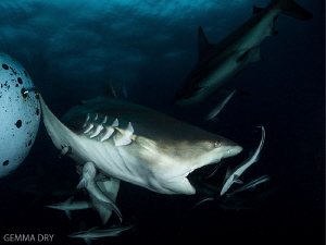 Blacktip Shark on Aliwal Shoal with remoras by Gemma Dry