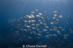 """""""Fin to Fin Traffic"""" Horse Eyed Jacks playing follow the... by Chase Darnell"""