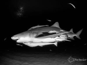 Large Lemon shark on the evening dive, the remoras were r... by Patricia Sinclair
