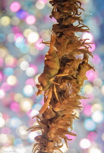 Whip Coral Dazzle. by Tony Cherbas