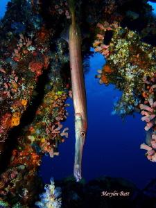 Trumpet fish framed by wreck. by Marylin Batt