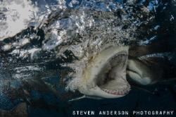 One big bite at Tiger Beach .... Lemon Shark fun! by Steven Anderson