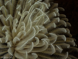 Delicate Feathers - Castle Reef - Aliwal Shoal by Gemma Dry