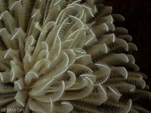 Delicate Feathers - Castle Reef - Aliwal Shoal by Gemma Dry