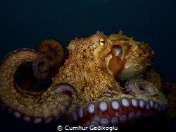 Octopus vulgaris by Cumhur Gedikoglu