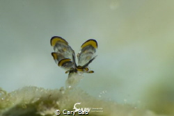 The super tiny tiger butterfly, I have to choose to use M... by Cary Bao