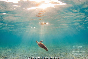 """""""Ascension"""" A green sea turtle ascends into sunbeams in ... by Susannah H. Snowden-Smith"""