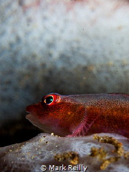 goby profile by Mark Reilly