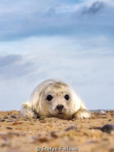 Get over it ... !  Grey Seal (pup) - Halichoerus grypus... by Stefan Follows