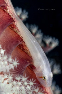 Pleurosicya boldinghi - Ghost Goby on Sea Pen by Wayne Jones