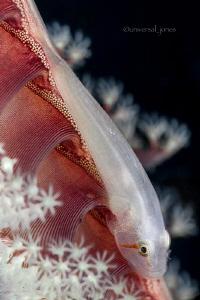 Pleurosicya boldinghi - Ghost Goby on Sea Pen by Wayne Jones