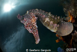 Seahorse posing for my bugeye (cropped to DX) by Gaetano Gargiulo