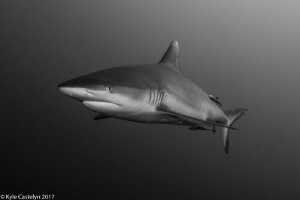 Just such a beautiful animal by Kyle Castelyn