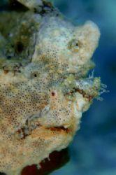Frogfish.D70,105mm.Kapalai,Sabah by Frankie Tsen