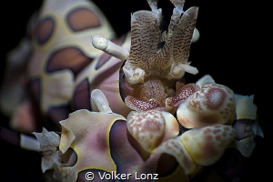 harlequin shrimp | super macro by Volker Lonz