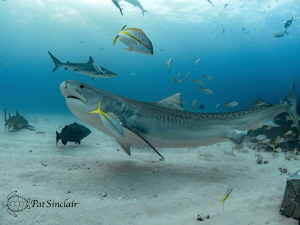 Beautiful Tiger Shark with a rope scar on the base of her... by Patricia Sinclair