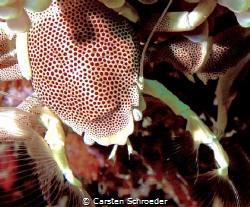 Porzellan crab by Carsten Schroeder