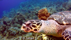 curious turtle coming up close by Julian C.