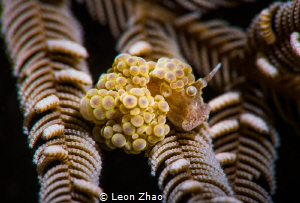 photo taked @ anilao ,there are more doto nudis in winter... by Leon Zhao