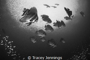Batfish by Tracey Jennings