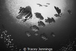 Batfish by Tracey Jennings