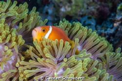 Clownfisch in Anemone by Carsten Schroeder