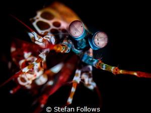 Affirmative  Peacock Mantis Shrimp - Odontodactylus scy... by Stefan Follows