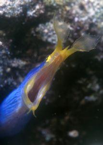 Blue Ribon Eel by Ian Chapman