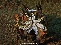 Flamboyant cuttlefish successful hunting by Uwe Schmolke