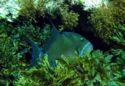 This Triggerfish was seen April 2006 in Isla Mujeres. I u... by Bonnie Conley