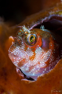 Blenny by Kelvin H.y. Tan