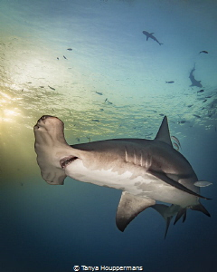 'Portrait of a Hammerhead at Sunset' - A great hammerhead... by Tanya Houppermans