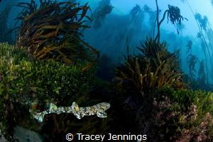 Puff adder shy shark by Tracey Jennings