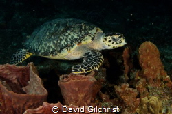 A Hawksbill Turtle swims over Sponges in Cozumel. by David Gilchrist