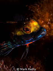two horned blenny by Mark Reilly