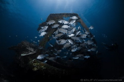 F I S H  Bounty Wreck Lombok (Gili), Indonesia. March 2016 by Irwin Ang