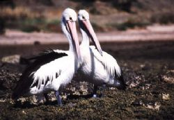 2 Pelicans , Kangaroo Island / South Australia - Kingscot... by Ralf Levc
