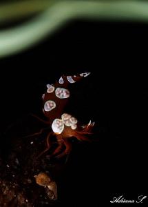 Sexy Shrimp & Anemone by Adriana Simeonova