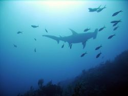 Great Hammerhead cruising above. by Niki Gentry