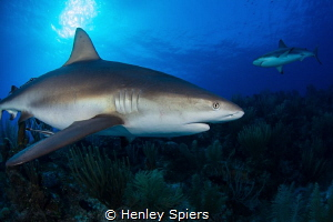 Big Daddy of the Reef by Henley Spiers