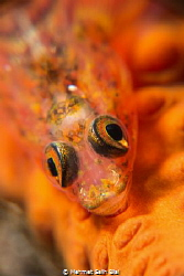 Wire coral goby. 