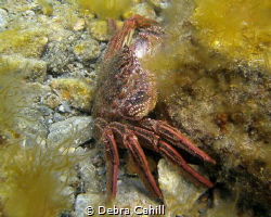 Crab Rapid Bay Jetty Rapid Bay South Australia by Debra Cahill