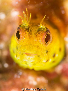 Blenny missing a few cirri by Henley Spiers