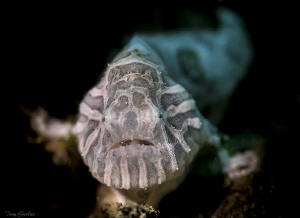 The very rare, Psychedelic Frogfish (Histiophryne Psyched... by Tony Cherbas