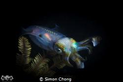Squid In The Night Nikon D7000 Nauticam NA-D7000 Nikko... by Simon Chong